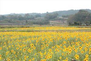田野ひまわり畑